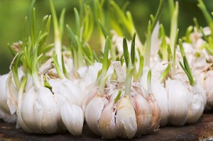 Garlic-sprouts-300x199